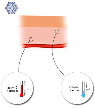 Les cellules exposées au froid ont une activité ralentie