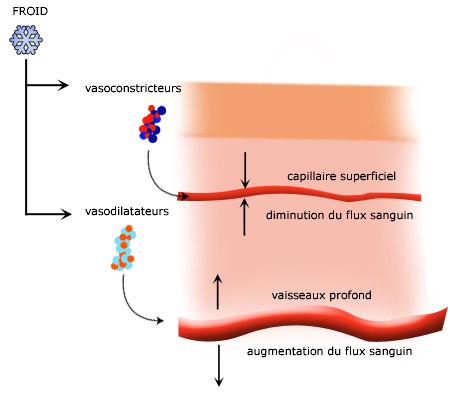 Vasoconstriction : Le froid provoque une dilatation des vaisseaux profonds et une contraction des vaisseaux superficiels.