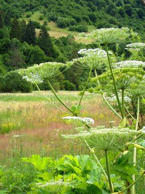 berce caucase cause brulures graves fleur